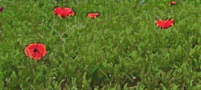 Un prado salpicado de amapolas